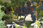 лоза виноград
