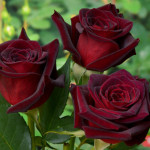 rose1_0
