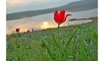 элиста тюльпан